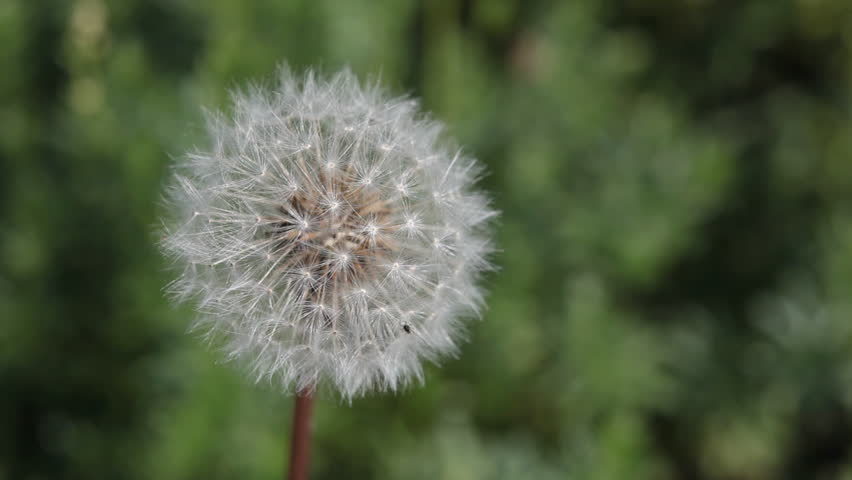 Dandelion - HD video of a dandelionvmoving in the breeze on green background