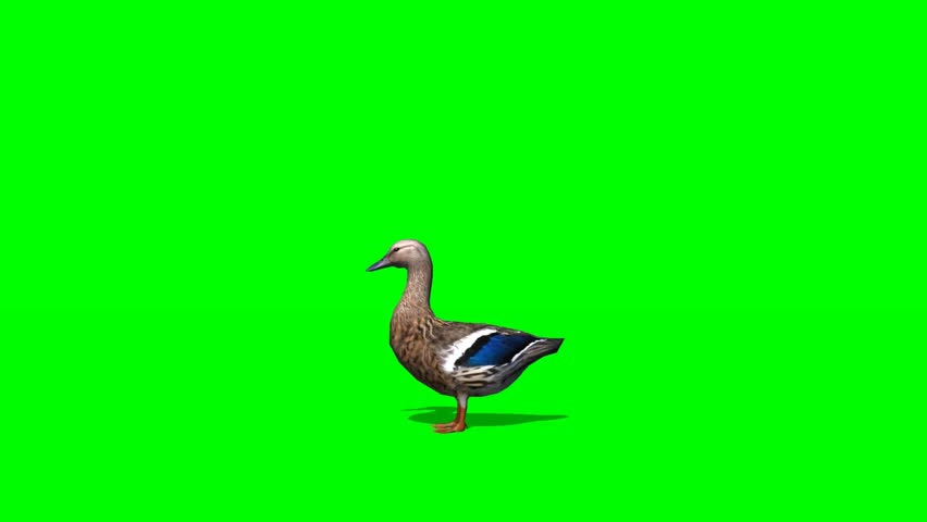 Duck Female - seperated on green screen | Shutterstock HD Video #5427935