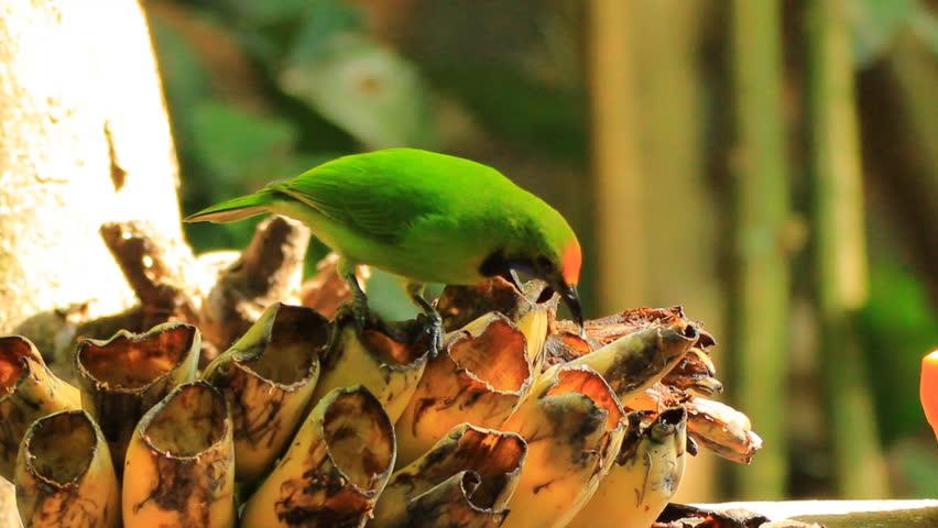 Header of leafbird