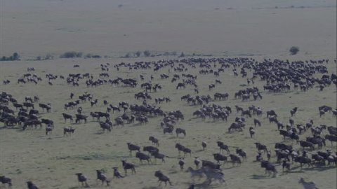 Africa Savanna Zebra Wildebeest. A scenic view of the vast savannas of Africa. The stunning view captures the savannas full of grazing and migrating wildebeest and zebra.