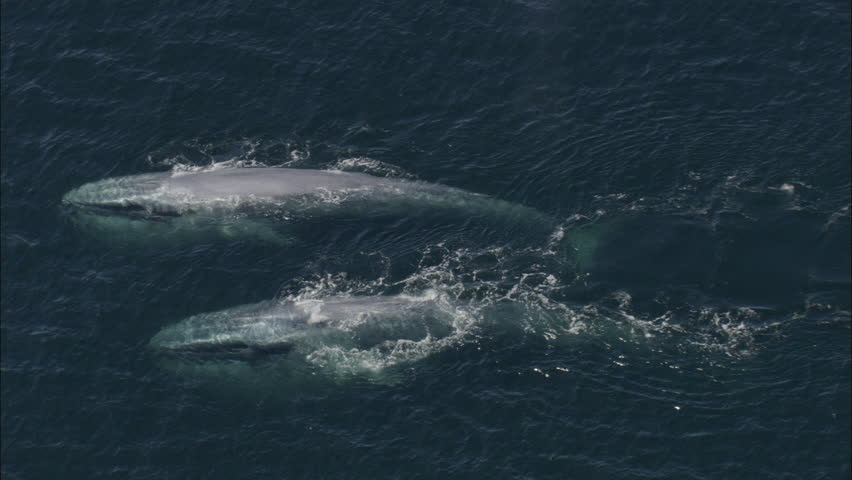 Two Blue Whales Ocean. Two large blue whales are swimming in the ocean.