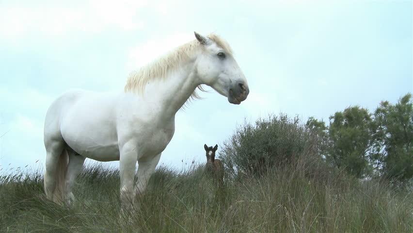 White horse in Camargue #5470406