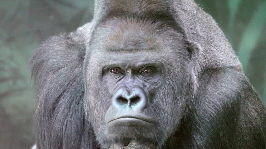 Closeup portrait of a gorilla male, severe silverback, watching his numerous family. Menacing expression of the great ape, the most dangerous and biggest monkey of the world.