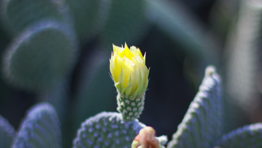 Close up yellow Beaver Tail cactus blossom opening in the morning time lapse