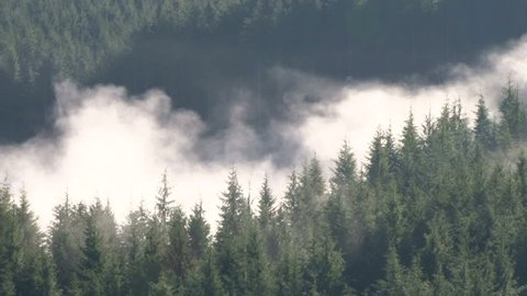 Clouds rolling in and out of thick, dense forest in the Pacific Northwest coastal mountain range.