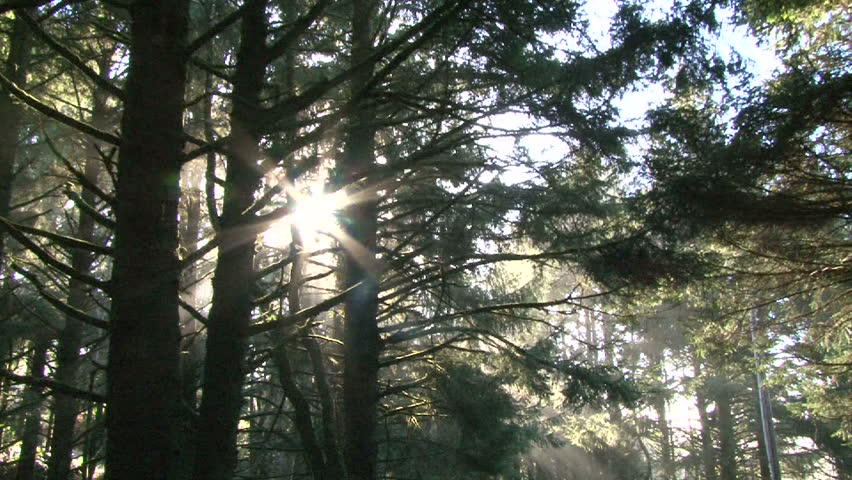Morning sun light filters through trees in dense forest.