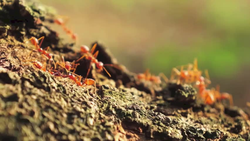 armies of fire ants slowly creeping and conquering vast areas of land But with the advent of civilisation vast and large areas of grass-land to such an extent that it was habits of the various species of ants.