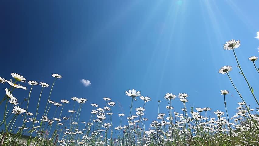 chamomile flowers. 4K. FULL HD, 4096x2304.