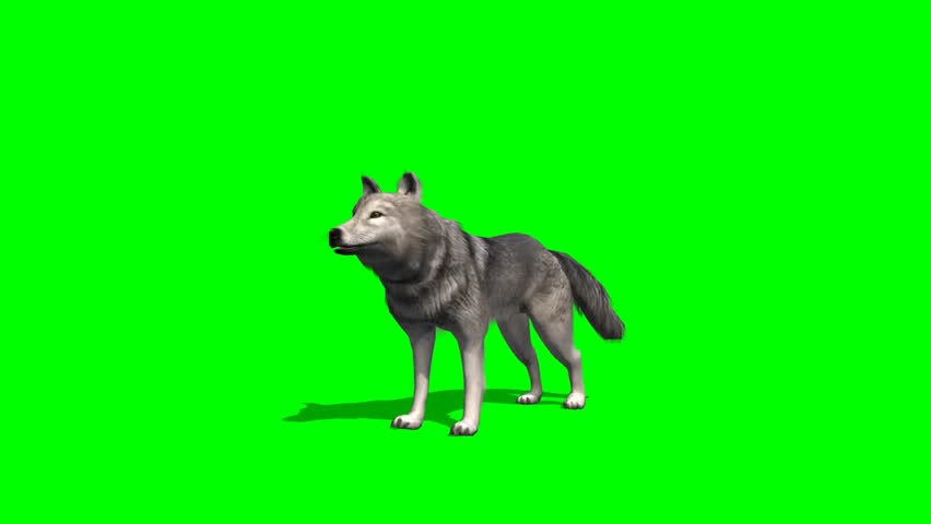 Wolf howls - seperated on green screen  | Shutterstock HD Video #5644976