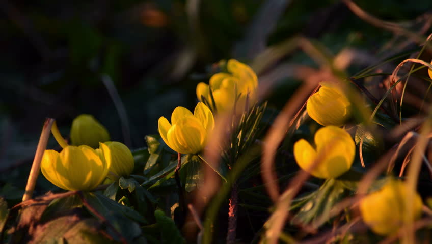 Time Lapse Yellow Flowers Closing Petals For Night Sleep 4k Stock Video Clip