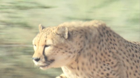 Cheetah running in slow motion from behind bushes