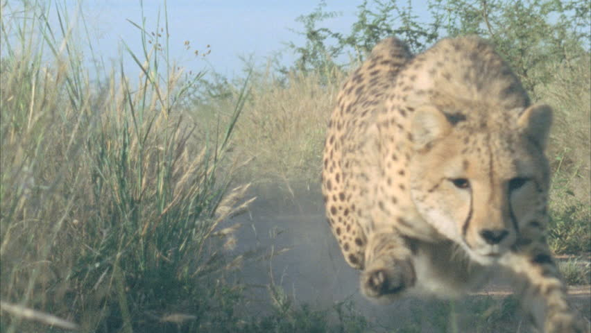 cheetah running straight for camera crouching chasing after bait