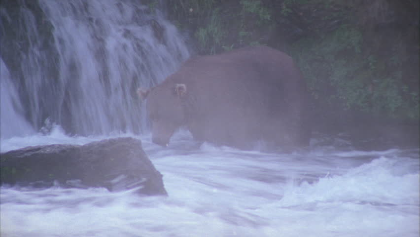 Bear at waterfall pouncing on migrating salmon | Shutterstock HD Video #5758196