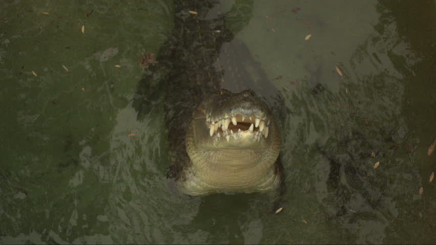 Close up slow motion footage of saltwater crocodile snapping at chicken carcass bait