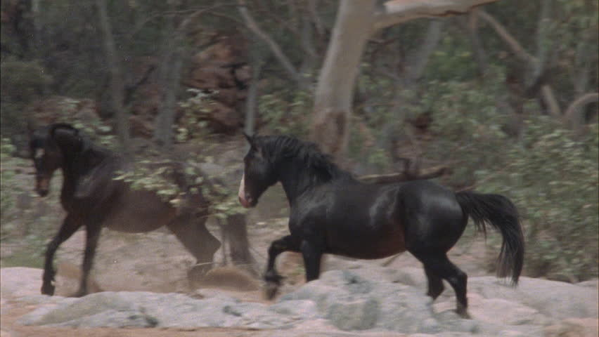 Brumbies sniff each other and run off