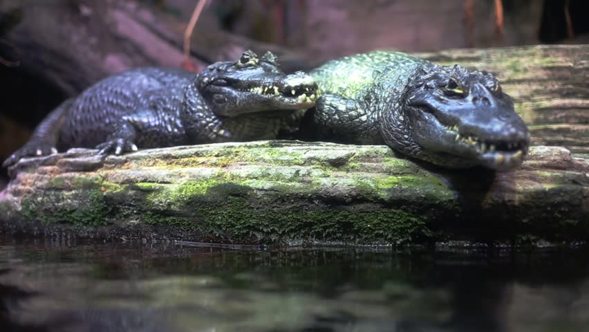 Close up of Crocodiles