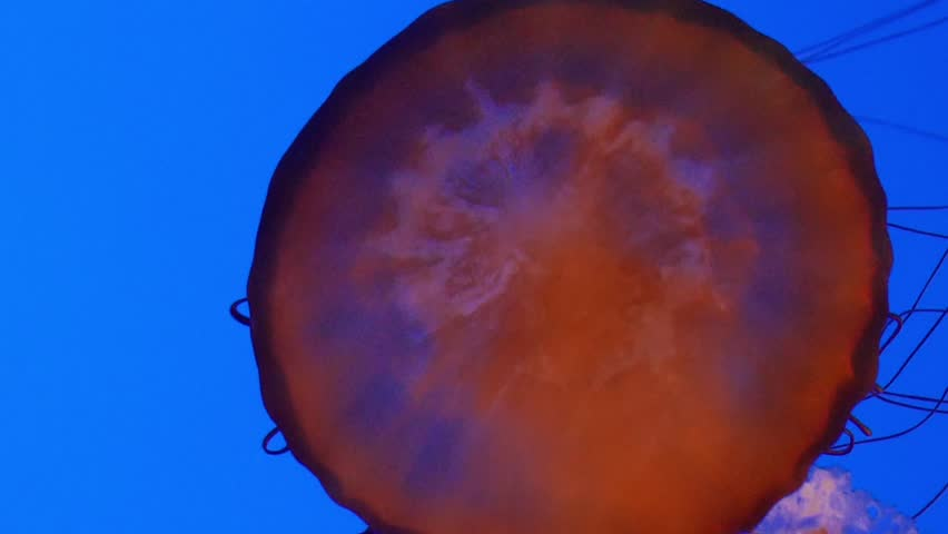 Monterey, California - January, 2014 - Medium shot of  the top of a Sea Nettle.