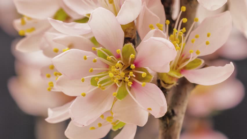 Apricot flower growing and blossoming on a dark background time lapse, 4k 25 fps time lapse video/Apricot flower blooming macro time lapse/Apricot time lapse