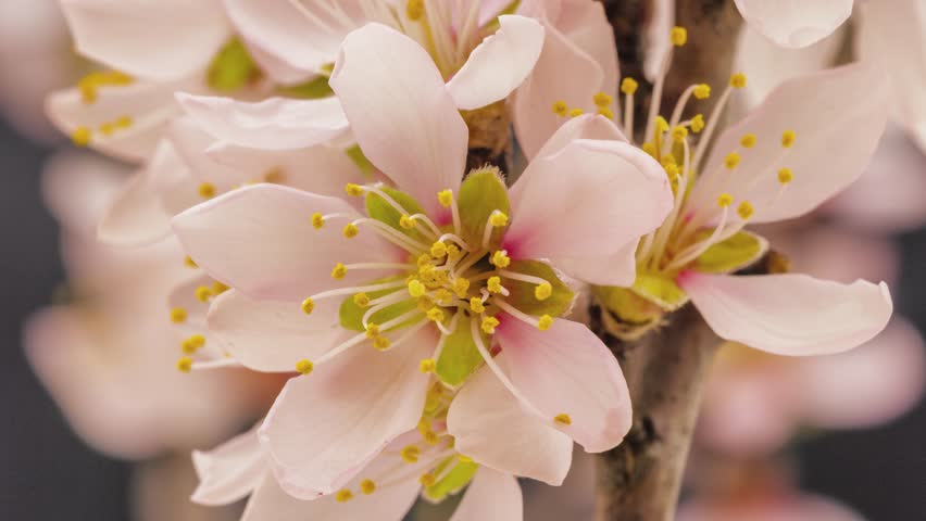 Flower free video clips 239 free downloads 4k 25 fps time lapse video of an apricot flower growing and blossoming on a dark mightylinksfo
