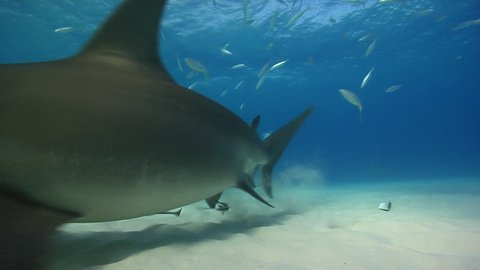 Great Hammerhead feeds in shallow water