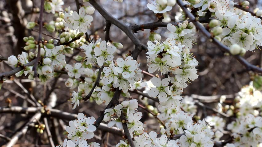 Stock video of fruit tree blossoms 3 a fruit 3900254 shutterstock hd0027blooming branch of cherry tree beautiful spring landscape mightylinksfo