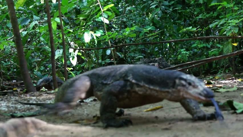 Monitor lizard in jungle on island Palawan