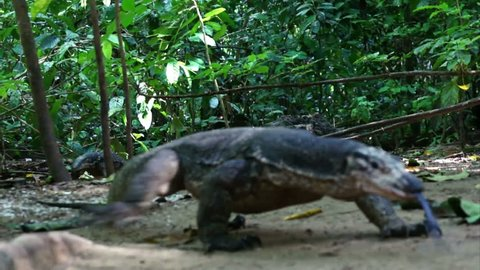 Monitor lizard in jungle on island Palawan