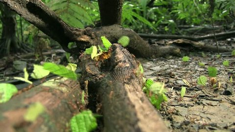 Leafcutter ants march across a tree branch.