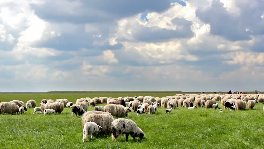 Sheep in the meadow ; Idyllic picture of sheep which graze on green meadow and beautiful cloudy sky,video clip