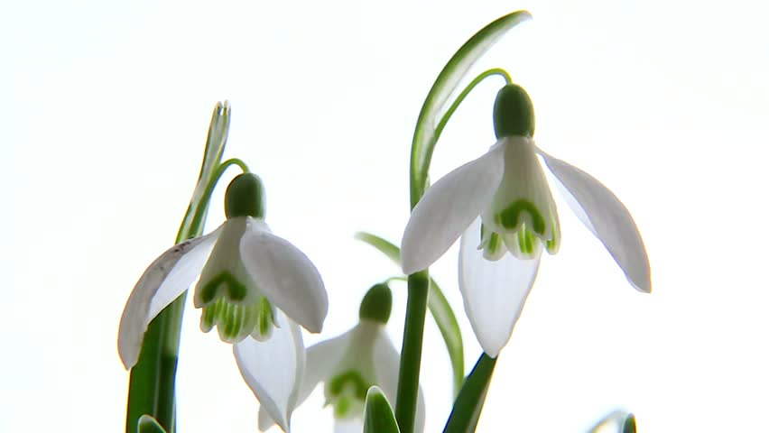 Header of galanthus