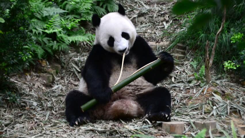 Giant panda eating bamboo stock footage video