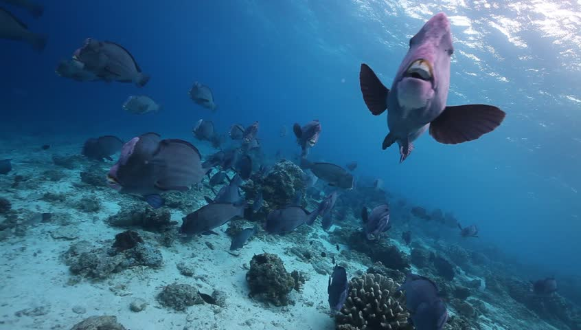 Humphead Parrotfish Gif