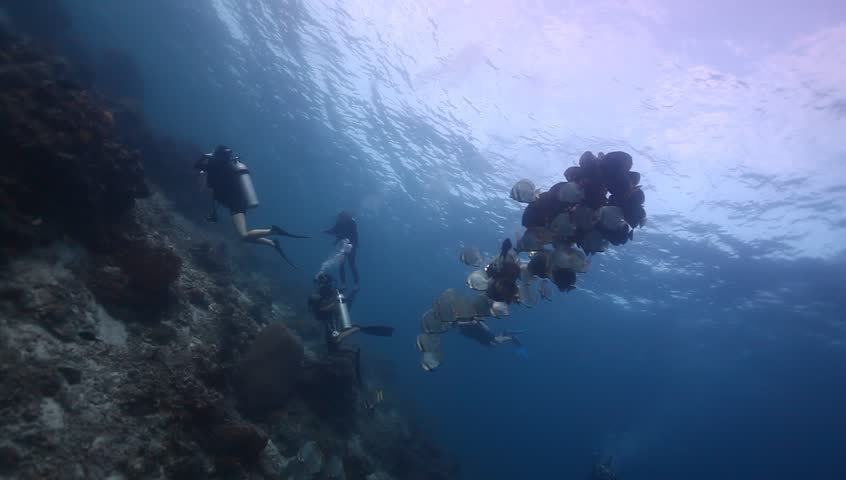 WS tight school of round batfish with divers atop coral reef   Shutterstock HD Video #6214226
