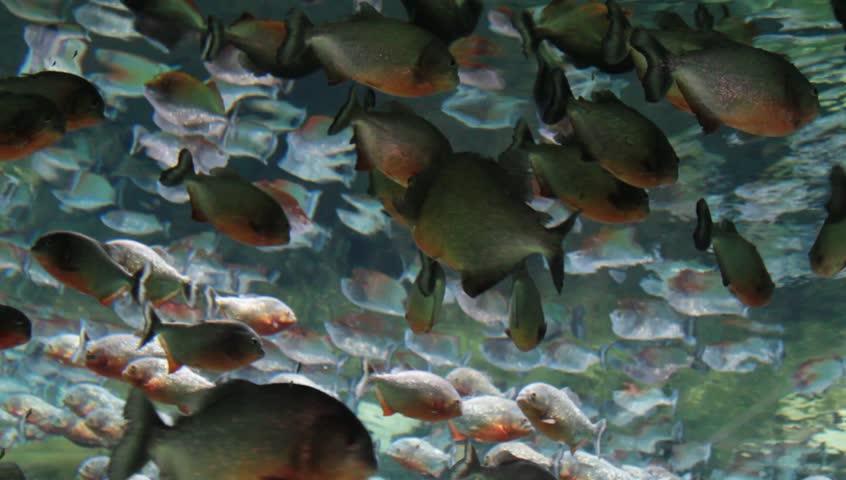 Red bellied piranha swimming underwater. ( Serrasalmus nattereri )
