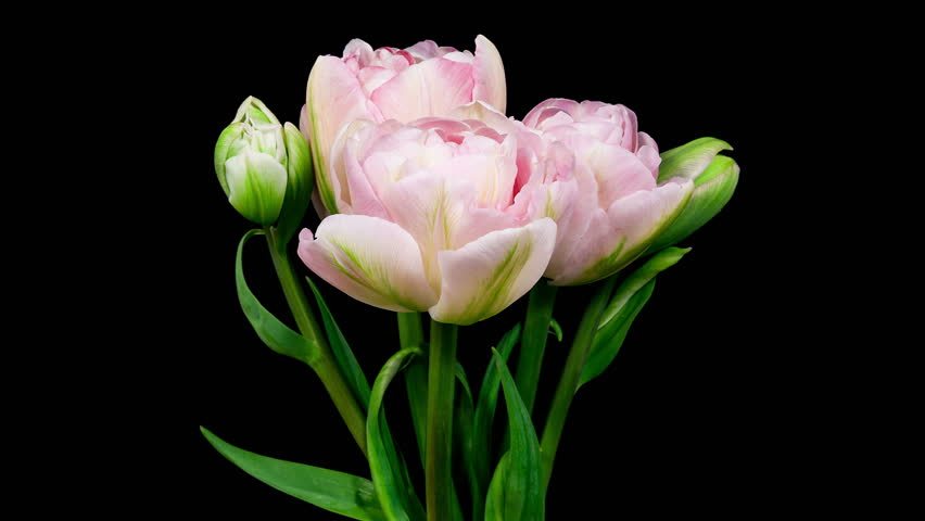 Timelapse of bunch of light pink double peony tulip flowers blooming on black background
