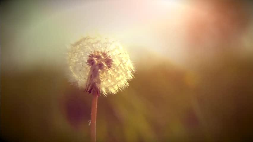 Dandelion seeds in sunlight blowing away. Slow motion video footage 1080p