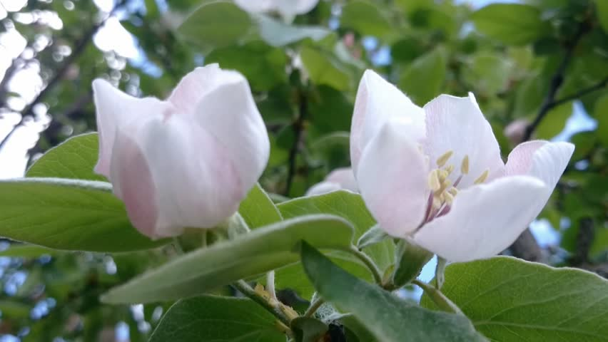 Quince blossom flower 1080p fullhd footage blossoming flowers of quince blossom 1080p fullhd footage blossoming flowers of a quince in 1920x1080 resolution hd voltagebd Choice Image