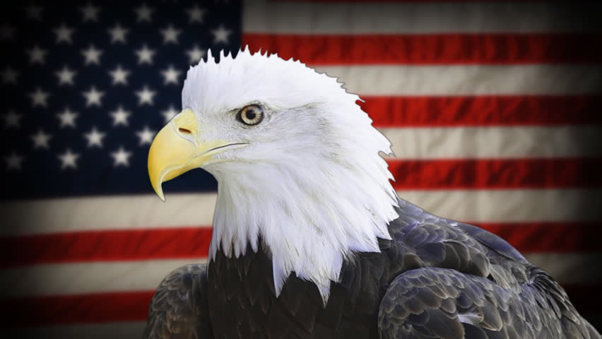 American Bald Eagle (Haliaeetus leucocephalus) is the national bird and national animal of the United States, currently a threatened species, seen in front of blurred American Flag. #6315026