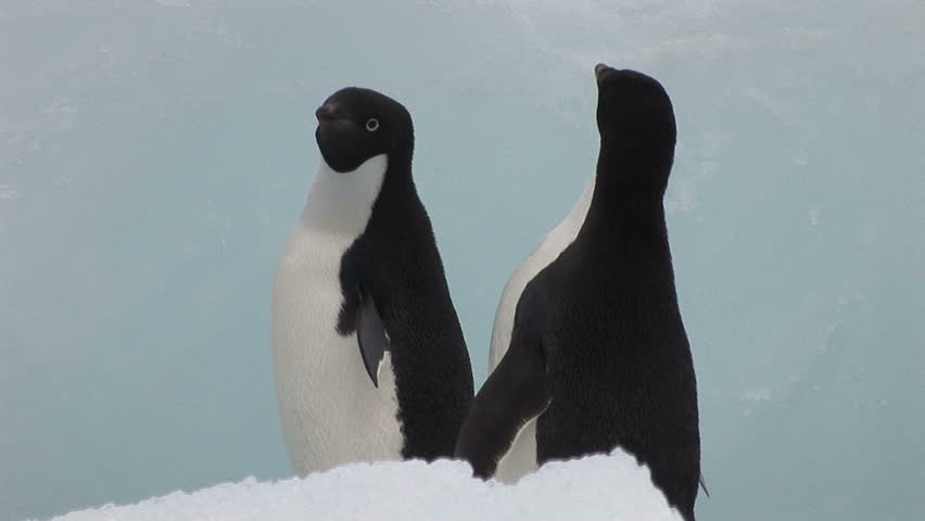 Adelie Penguins and Ice Bergs in Hope Bay Antarctica