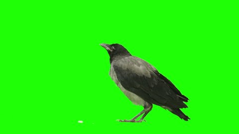 Crow is eating something and looking around on green screen. Shot with Red Epic.