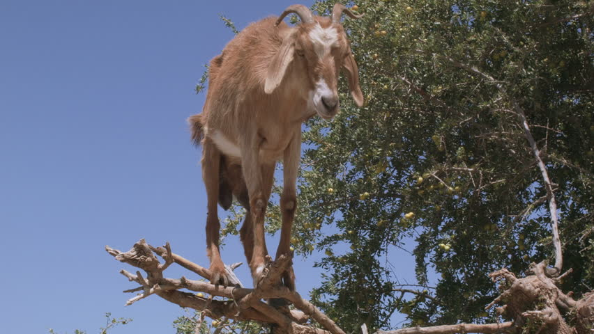 A goat jumps from an argan tree, Morocco