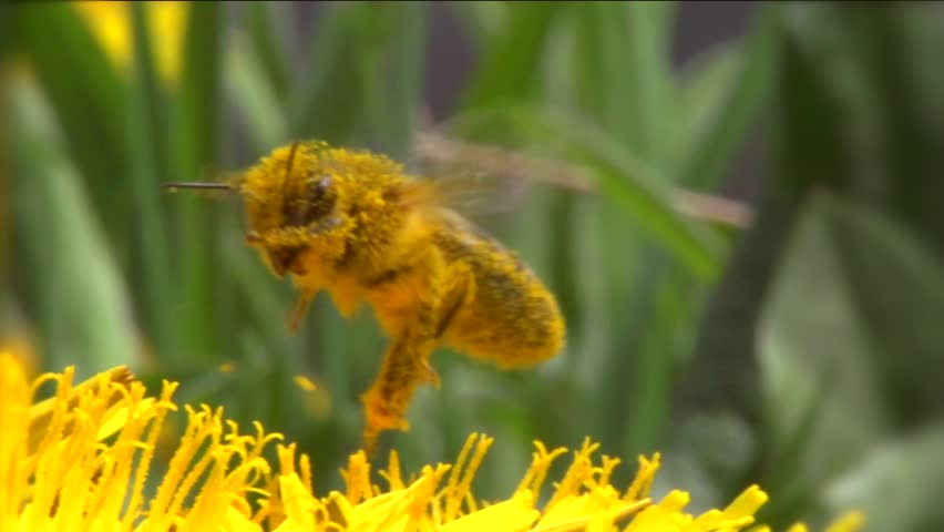 Honey bee on dandelion flower working. Super slow motion video footage. High speed camera shot. Full hd 1920x1080