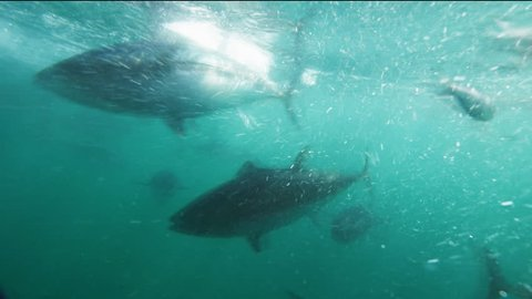 an underwater view of  farmed blue-fin tuna being fed
