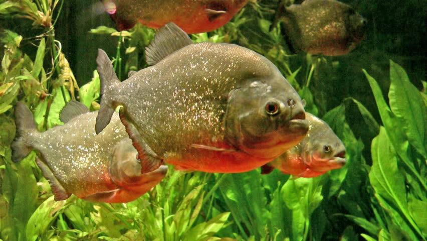 Video of Piranha fish close up in tropical water. Brightly colored with great contrast and detail. Aggressive fish with appetite for meat and flesh.