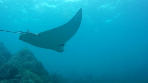 Eagle Ray over coral reef