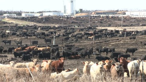 Land Use Stockyard Cattle Cow Feedlot Livestock Fattening Grain Agriculture