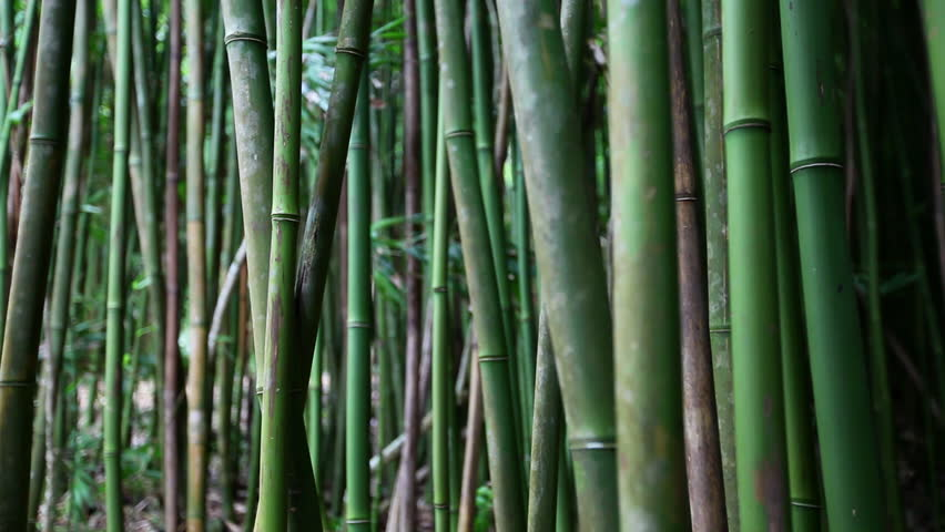 Bamboo grove in Haleakala Hawaii shot with Canon 5D MkII using Canon L-series lens - HD stock footage clip