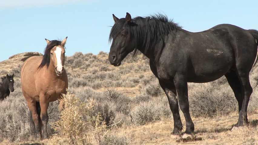 Horse Adult Pair Summer Feral Wild Free Ranging Black Brown Tan | Shutterstock HD Video #6496376