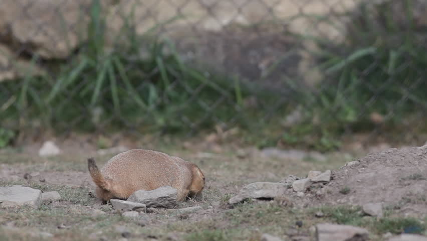 HD footage of a restless black tailed prairie dog