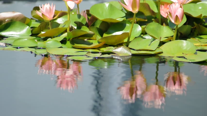 Water lilies bobbing in a peaceful reflecting pool | Shutterstock HD Video #6546296